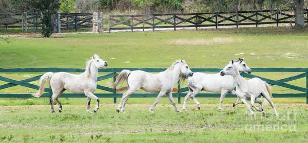Arabian Horses Poster