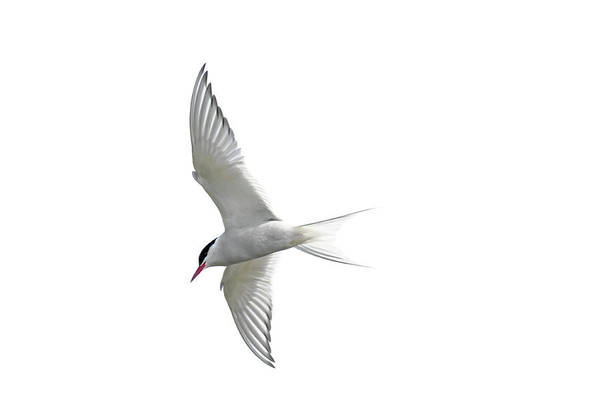 Arctic Tern Flying In Mist Poster