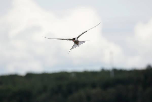 Arctic Tern In Flight Poster