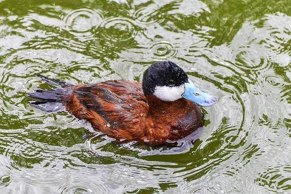Argentine Ruddy Duck Poster
