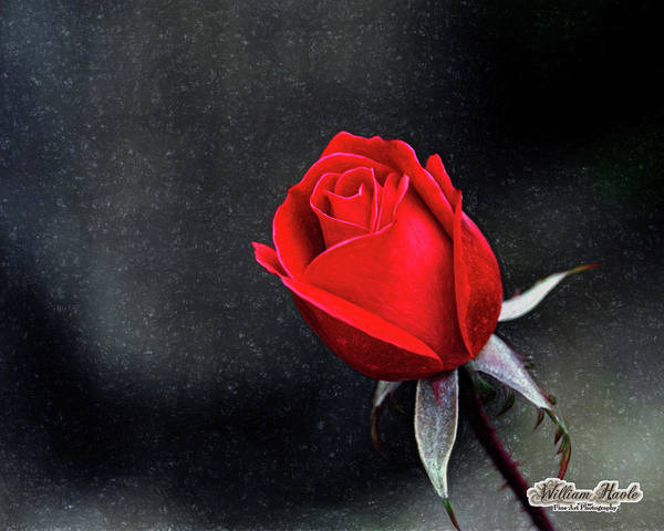 Poster featuring the photograph Artists Red Rose by William Havle