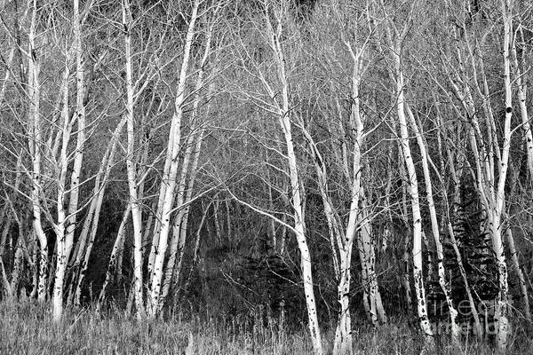 Aspen Forest Black And White Print Poster