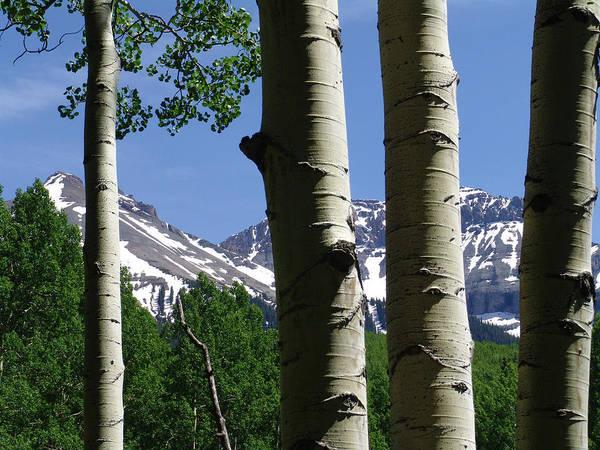 Aspens In The San Juan Mtns Of Colorado Poster