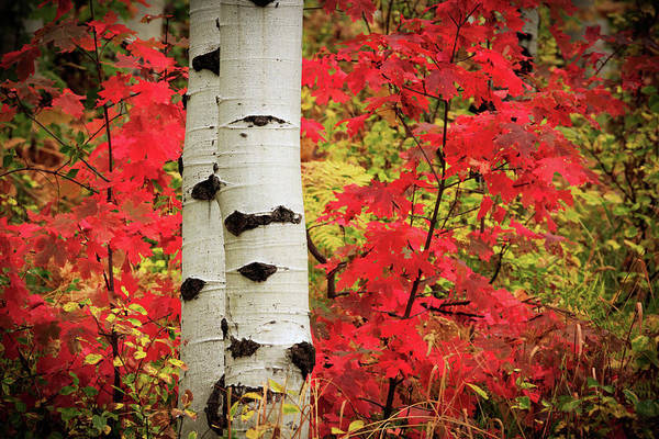 Aspens With Red Maple Poster
