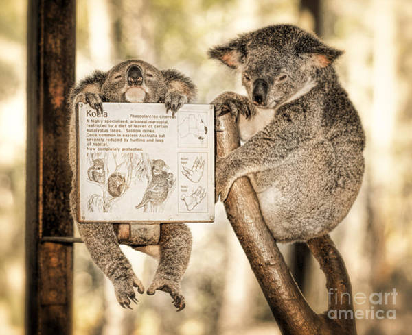 Poster featuring the photograph Koala Australia  by Juergen Held