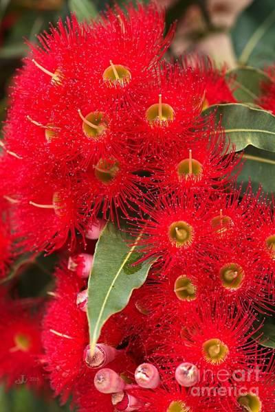 Australian Red Eucalyptus Flowers Poster
