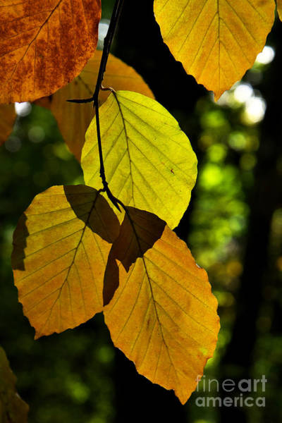 Autumn Beech Tree Leaves Poster