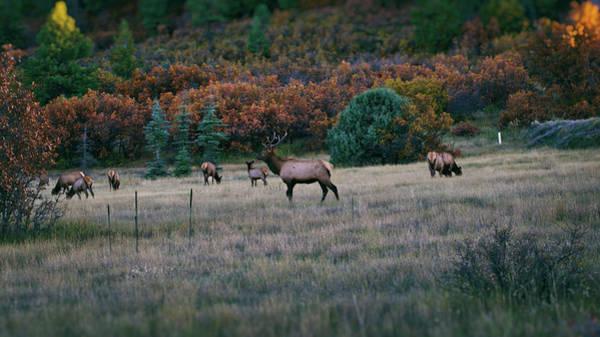 Autumn Bull Elk Poster