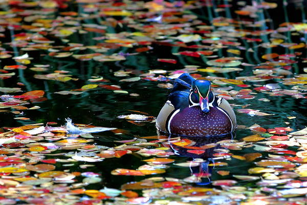 Autumn Wood Duck Poster