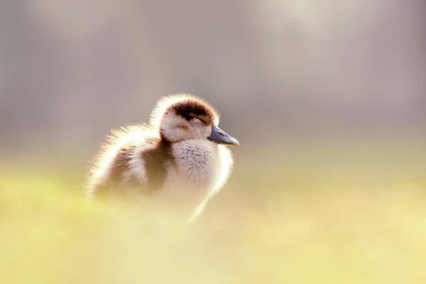 Baby Animals Series - Zen Gosling Poster