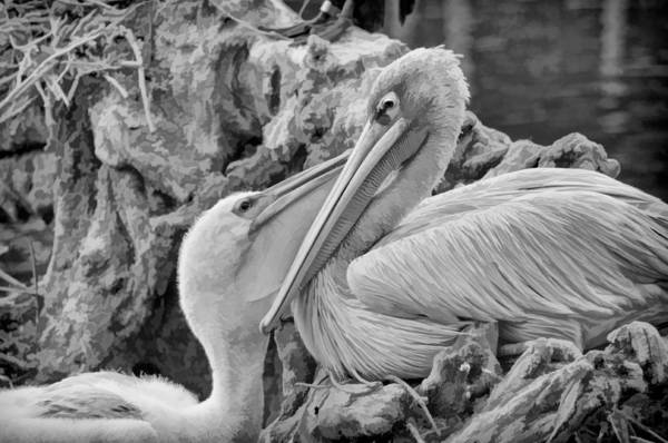 Baby White Pelican Talks To Mother White Pelican Poster