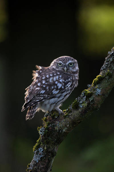 Backlit Little Owl Poster