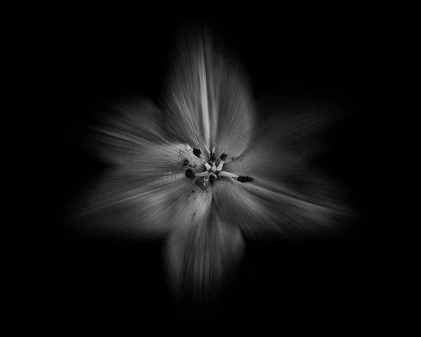 Backyard Flowers In Black And White 28 Flow Version Poster