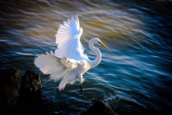 Balancing Act  Great White Egret  Poster