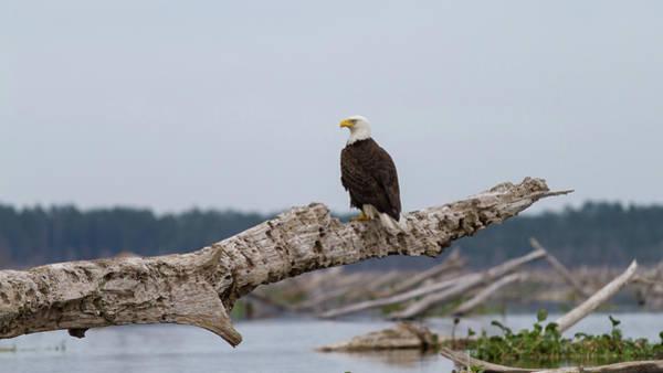 Bald Eagle #1 Poster