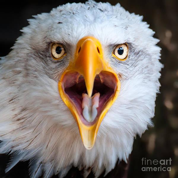 Bald Eagle Call Poster