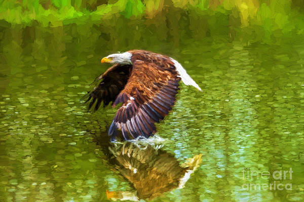 Bald Eagle Cutting The Water Poster