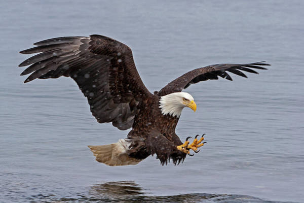 Bald Eagle Diving For Fish In Falling Snow Poster