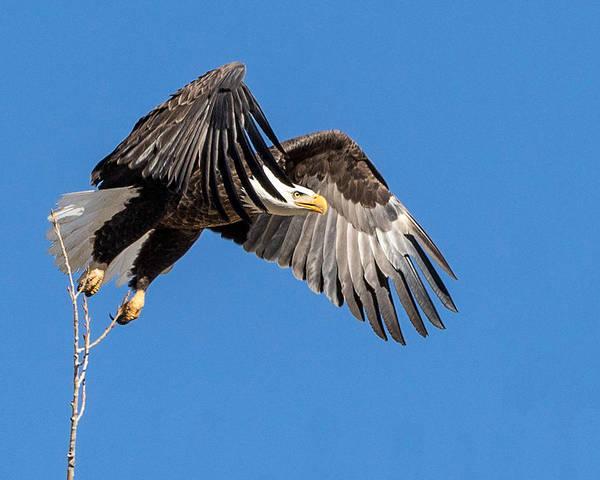 Bald Eagle Flight 3 Poster