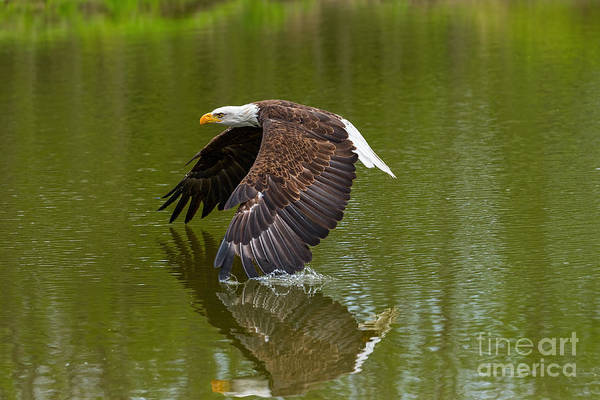 Bald Eagle In Low Flight Over A Lake Poster