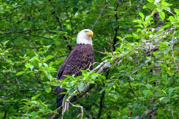 Bald Eagle In Tree Poster
