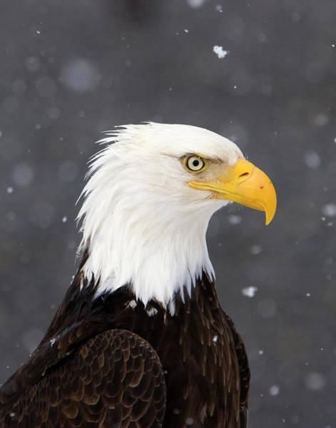Bald Eagle Intensity Poster