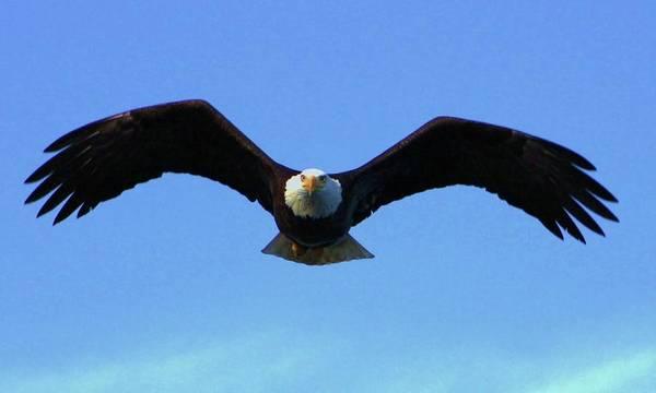 Bald Eagle Intimidation Poster