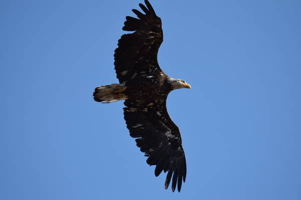 Bald Eagle Juvenile Soaring Poster