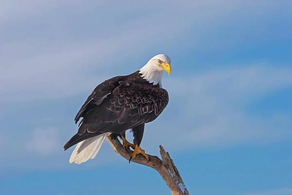 Bald Eagle Majesty Poster