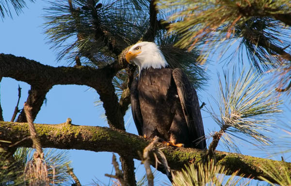 Bald Eagle Perch Poster