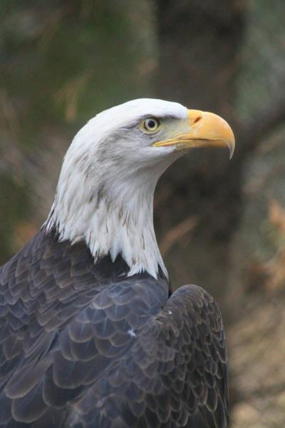 Bald Eagle Profile Poster