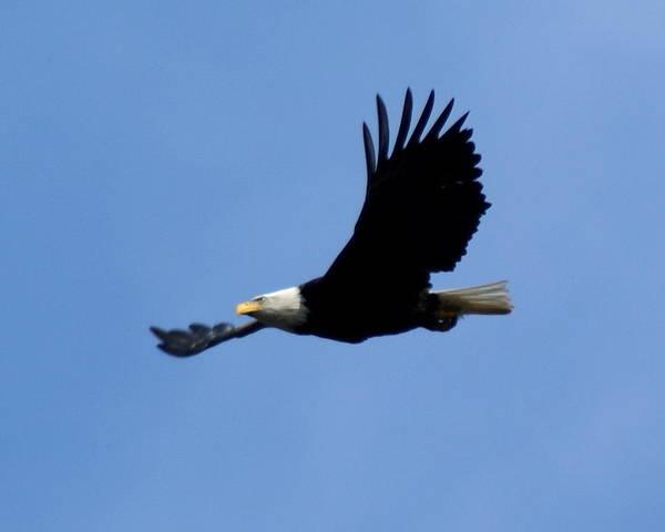 Bald Eagle Soaring High Poster