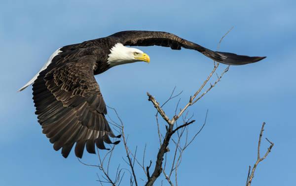 Bald Eagle Swoosh Poster