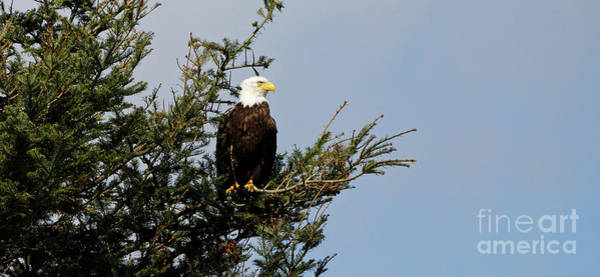 Bald Eagle - Taking A Break Poster