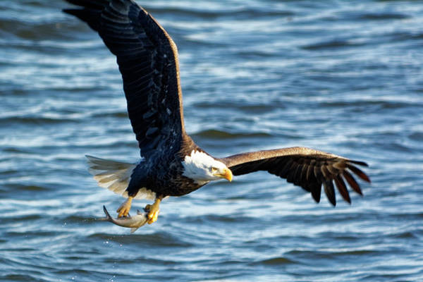 Bald Eagle With Fish Poster