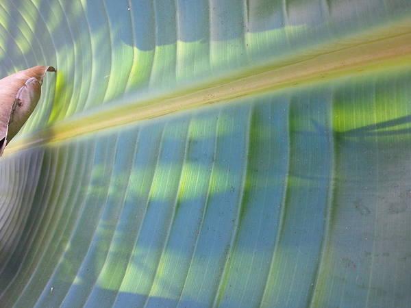 Banana Leaf 01 - Side Poster