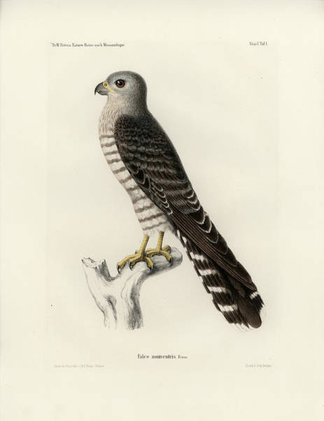 Poster featuring the drawing Banded Kestrel by J D L Franz Wagner
