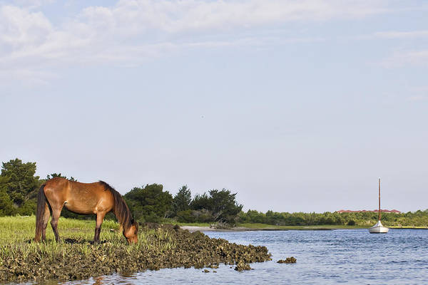 Banker Horse Along Taylors Creek Poster
