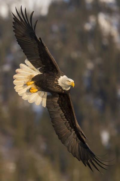 Banking Bald Eagle Poster
