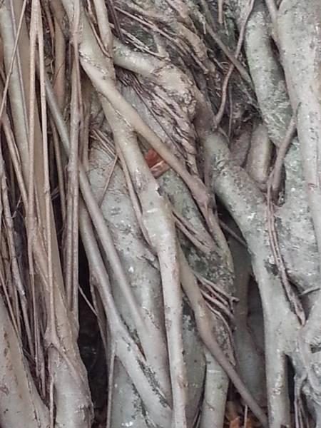 Banyan In Maui Poster
