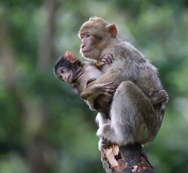 Barbary Macaque Mother And Baby Poster