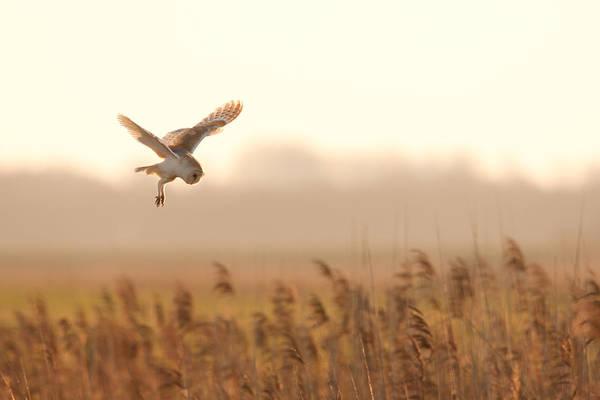 Barn Owl Hunting Poster
