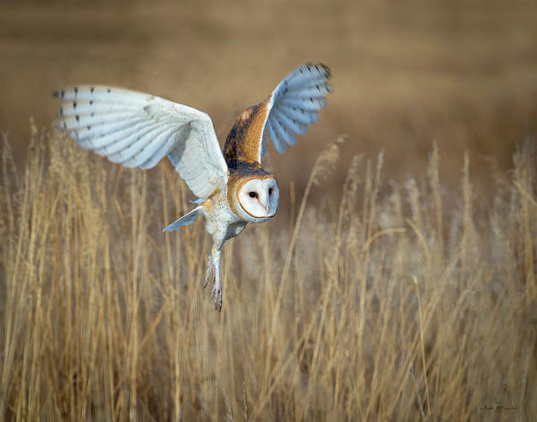 Barn Owl In Grass Poster