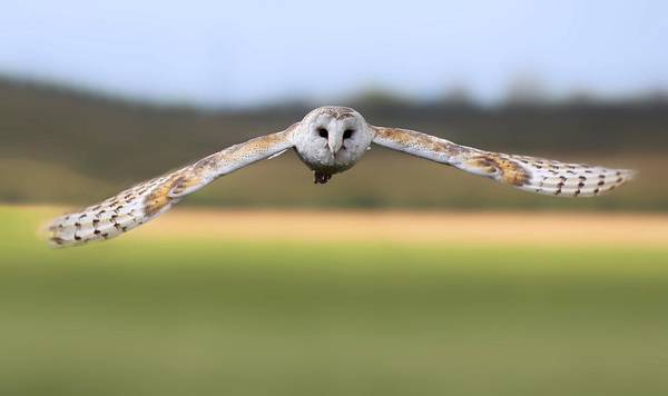 Barn Owl Swoop Poster