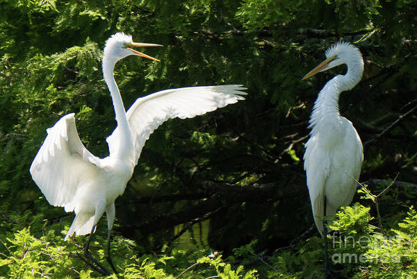 Battle Of The Egrets Poster