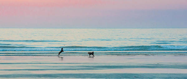 Beach Dogs Playing At Dawn Poster