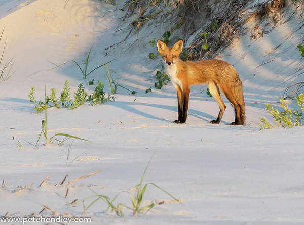 Beach Fox #3 Poster