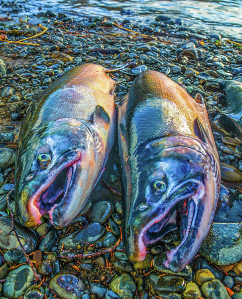 Beached Coho Poster