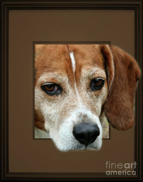 Beagle Peeking Out Poster