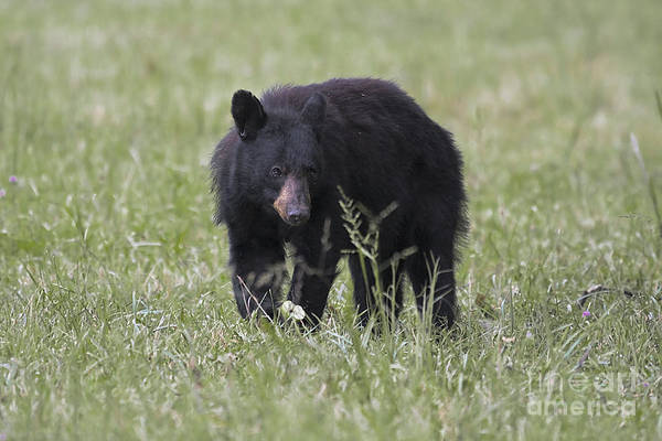 Bear Cub With Apple Poster